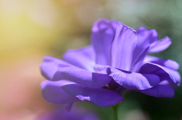 Close up petal violet flower with sunlight ( lisianthus flowers)