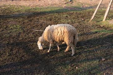Sheep eating grass in farm.