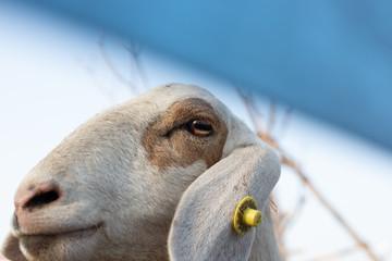 Sheep's head./Close up of a sad Sheep´s head!