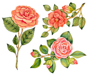Illustration of watercolor hand drawn set of isolated asian pink camellias and roses with green leaves. Wedding flowers bouquets. Floral border composition. Japanese, vintage, botanical background.