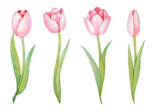 Illustration of watercolor hand drawn set of pink tulips isolated on white background. Spring flowers. Invitations, save the date cards, fabric, wallpaper, scrapbook, greeting card design.