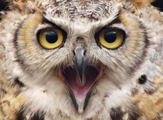 A Great Horned Owl (Bubo virginianus)