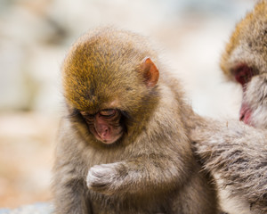 baby snow monkey face looking down