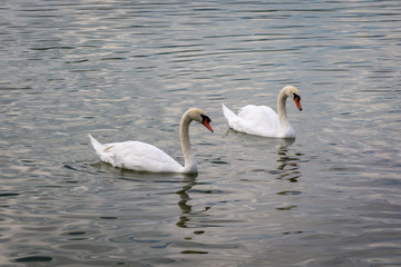 Swan couple in the lake.