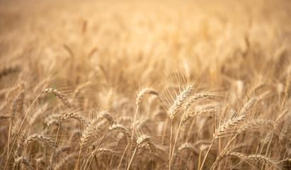 Fototapeta Harvest season golden wheat field obraz
