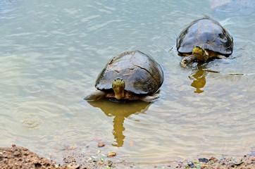 Two turtles swimming in lake