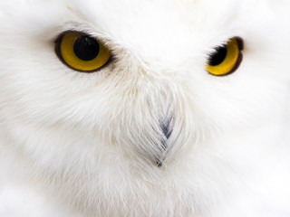 The snowy owl (Bubo scandiacus) close up. Bright yellow eyes on a background of white feathers.