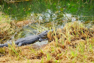alligators in everglades national park