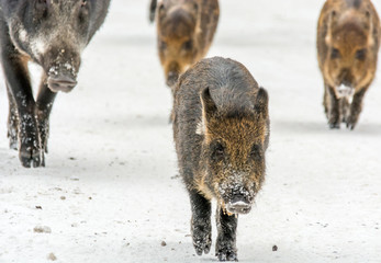 Wild boars running straight ahead with a decided step