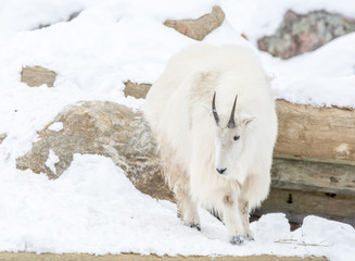 Alpine goat in a snowy hill in the Outaouais