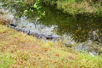 sleeping alligators in everglades national park