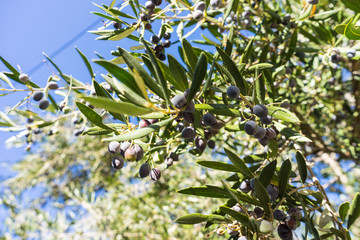 Tree, bush with growing, ripening olives