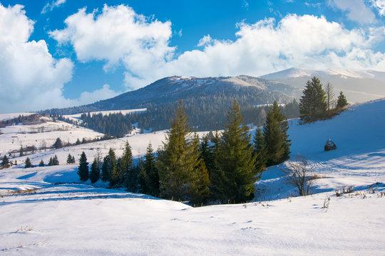spruce woodlot on a snowy slope