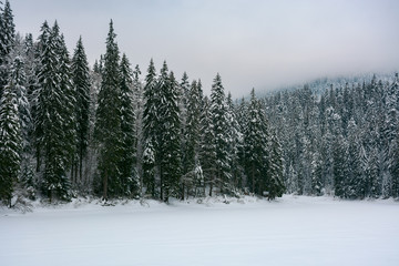 spruce forest in snow