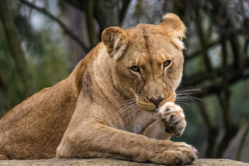 Lioness cleaning her fur