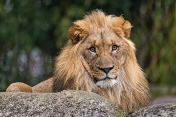 Wall Mural - Closeup of a male lion sitting on a rock