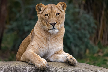 Wall Mural - Lioness sitting on a rock
