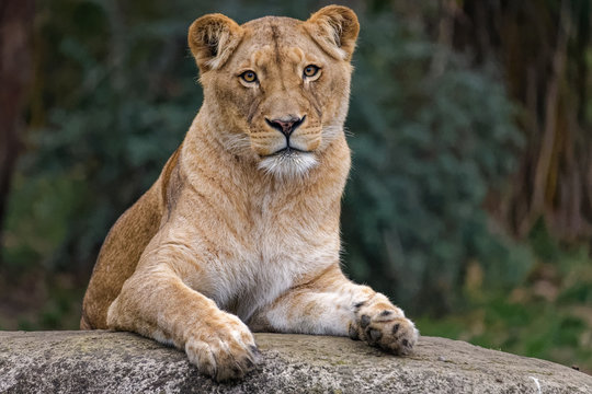 Lioness sitting on a rock