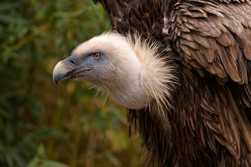 Close up of a eurasian griffon