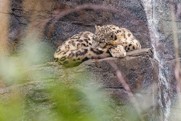 Snow leopard sleeping on a rock