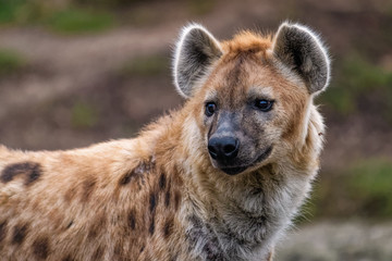 Close up of a spotted hyena