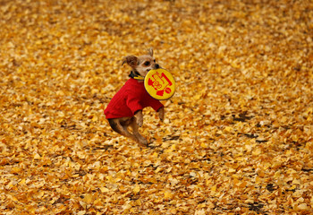 A dog jumps to catch a flying disk as it plays among ginkgo leaves at Yoyogi park in Tokyo
