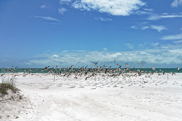 Black skimmer colony taking off from the beach nesting area