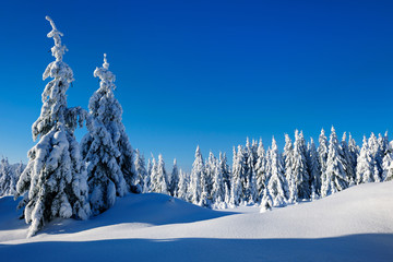 Winter Landscape  of Fir Forest under sunny blue sky covered by fresh snow