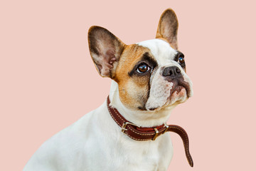 serious french bulldog on an isolated background looking into the camera