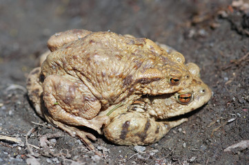 Reproduction of the frogs - mating of toads