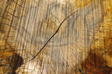 Cut tree trunk - texture of wood