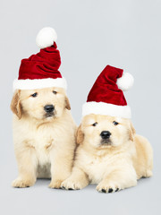 Two Golden Retriever puppies wearing a Santa hats