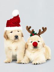 Two Golden Retriever puppies wearing a Santa hats and reindeer headband