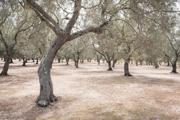 olive grove during summer day