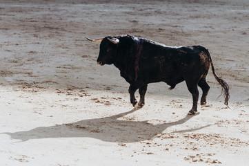 Fighting bull running in the arena. Bullring. Toro bravo