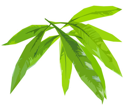 green leaves of mango isolate,vector