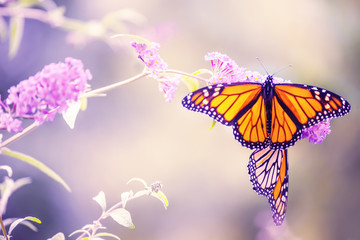 Butterfly on a lilac flower. The most famous butterfly of North America is the monarch's daaid. Gentle artistic photo.