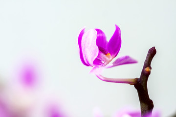 beautiful purple orchid on white background.
