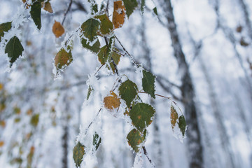 Birch leaves are covered with frost. Winter beauty in the park. A spectacle of nature.