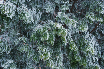 In winter, the green bush in the park is covered with frost.