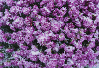 Purple flowers are covered in the morning with frost. Winter cold.