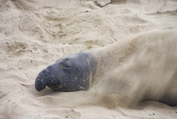 male elephant seal at a beach
