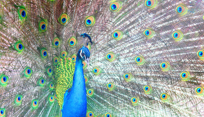 Beautiful Indian Peacock With Feathers In The Peacocks Tail