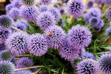 Bee on Allium Millenium  or  Millenium Ornamental Onion flowers