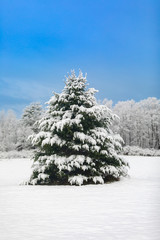 Beautiful Evergreen Tree Covered with Snow Vertical