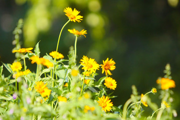Beautiful, blurred summer background, soft focus. Elegant, delicate, yellow flowers with green leaves and stems. The concept of a blossoming glade in the open air. Horizontal. Free space for text.