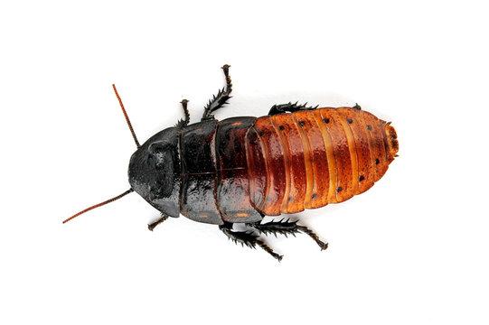 Madagaskar-Fauchschabe (Gromphadorhina portentosa) - Madagascar hissing cockroach