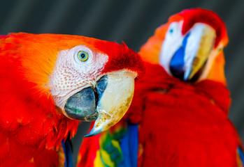 Casal Papagaios