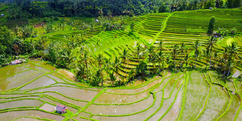 Lush Green Rice Terraces On Hillside With Palm Trees - Jatiluwih, Indonesia Aerial View