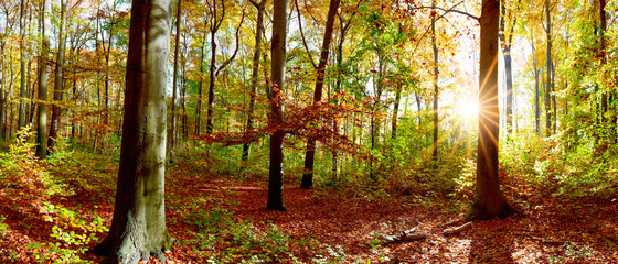 Beautiful forest panorama in autumn with bright sun shining through the trees